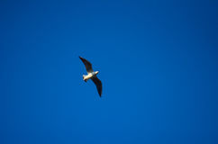 A seagull soaring in the sky Stock Photography