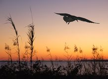 Seagull Soaring at Sunset. Silhouette of seagull flying over seashore at sunset Royalty Free Stock Photo