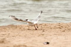 A seagull soaring to flight at the polish beach stock images