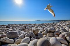 Seagull Soaring on Top of Pebble Field at Beach Royalty Free Stock Photo