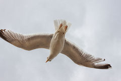 Seagull soaring Royalty Free Stock Photography