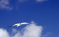 Seagull. A seagull soars across the blue sky Stock Photography