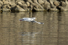 Seagull soars just above water with fish in beak. Royalty Free Stock Photos