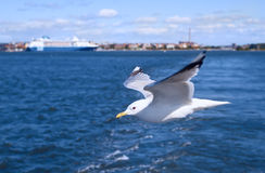 Seagull soars low close-up Stock Photos