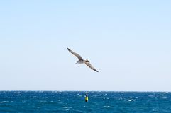 Seagull soars over sea. Stock Images