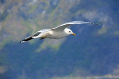 Seagull, Sognefjorden/ Zdjęcia Royalty Free