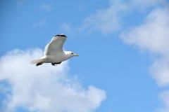 Seagull/Sognefjorden Fotografering för Bildbyråer