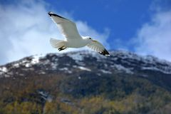 Seagull / Sognefjorden Royalty Free Stock Photography