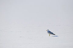 Seagull Solitude Stock Images