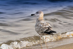 Seagull Solitude Royalty Free Stock Photos
