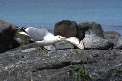 Seagull som äter fisken i Lofoten Royaltyfri Fotografi