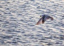 Seagull som äter krabban Royaltyfria Bilder