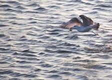 Seagull som äter krabban Fotografering för Bildbyråer