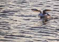 Seagull som äter krabban Arkivfoton