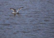 Seagull som äter krabban Royaltyfri Fotografi