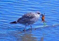 Seagull som äter krabban & havsväxt arkivbilder