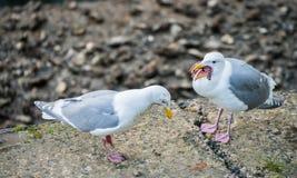 Seagull som äter stjärnafisken Arkivbild