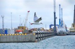 Seagull som över flyger Royaltyfri Foto