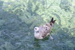 Seagull som driver p? v?gor Klart genomskinligt turkosvatten av Adriatiskt havet arkivfoto