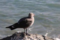Seagull som förbiser havet Arkivbilder