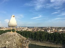 Seagull som förbiser Rome Arkivfoton