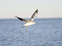 Seagull som flyger över det blåa havet Fotografering för Bildbyråer