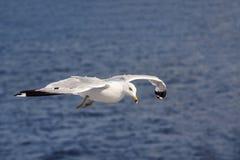 Seagull som flyger över havet Arkivfoto