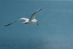 Seagull som flyger över havet som ner ser royaltyfri foto