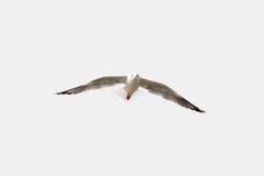 Seagull som flyger behagfullt i den isolerade himlen Fotografering för Bildbyråer
