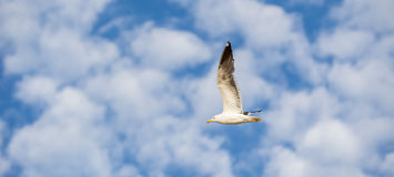 Seagull som flyger till det vänstert på en blå himmel med vita moln Arkivfoto
