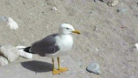 Seagull som frågar för mat stock video