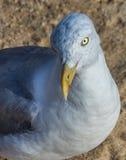 Seagull som från sidan kastar en blick på fotografen Arkivbilder