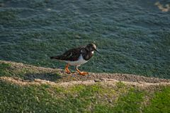 Seagull som går i havsporten royaltyfri fotografi