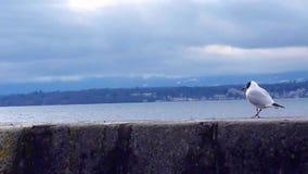 Seagull som går och äter på en vägg lager videofilmer