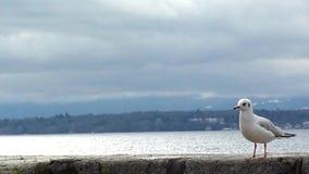 Seagull som går och äter på en vägg arkivfilmer