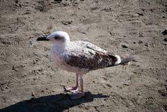 Seagull som går på stranden Arkivbilder