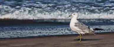 Seagull som går på stranden Arkivfoto