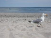 Seagull som går ut ur bild Arkivfoto