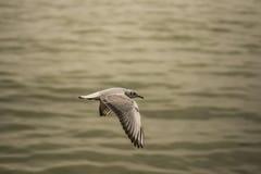 Seagull som glider 4 Royaltyfri Fotografi