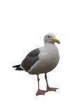 Seagull som isoleras på vit Arkivbilder
