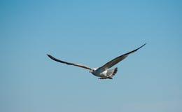 Seagull som lågt flyger Fotografering för Bildbyråer