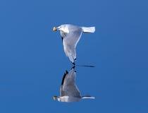 Seagull som lågt skummar över mycket lugna glas- vatten Fotografering för Bildbyråer