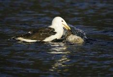 Seagull som matar på anden Arkivbild
