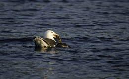 Seagull som matar på en and Royaltyfri Bild