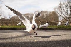 Seagull som når för ett stycke av bröd Royaltyfria Bilder