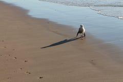 Seagull som omkring går på stranden Royaltyfri Foto