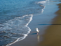 Seagull som promenerar kusten Arkivfoto