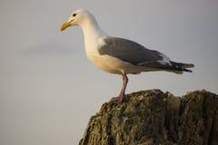 seagull som sätta sig på en journal Fotografering för Bildbyråer