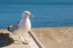 Seagull som sätta sig på en sjösidavägg Royaltyfri Fotografi