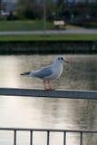 Seagull som sätta sig på metallräcket Arkivbild
